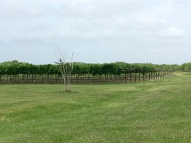 Miles and miles of Texas... grapes.