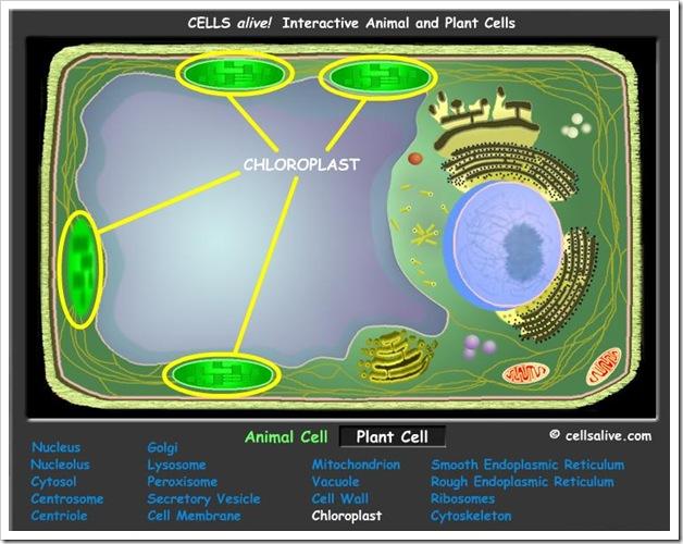 Cellule vegetali e animali, modelli animati