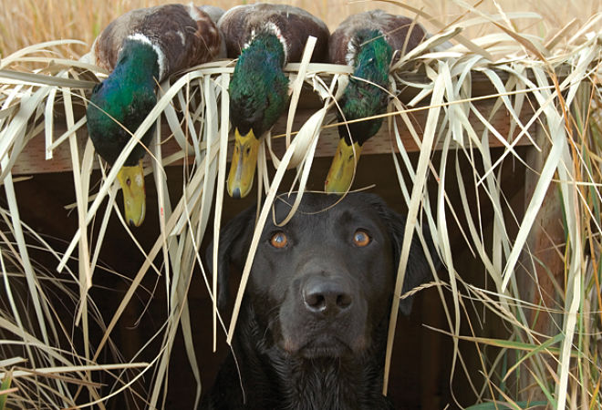 Gun Dogs: An introduction