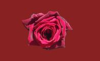 Rosa carmim