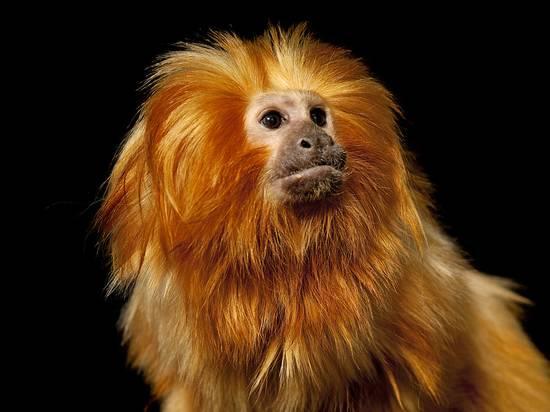 joel-sartore-a-golden-lion-tamarin-leontopithecus-rosalia-rosalia_a-l-8935995-4990879.jpg