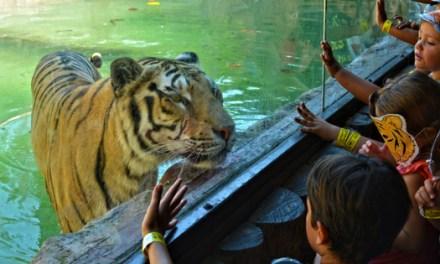 Terra Natura Benidorm se suma al Día Internacional del Tigre para concienciar sobre la conservación de la especie