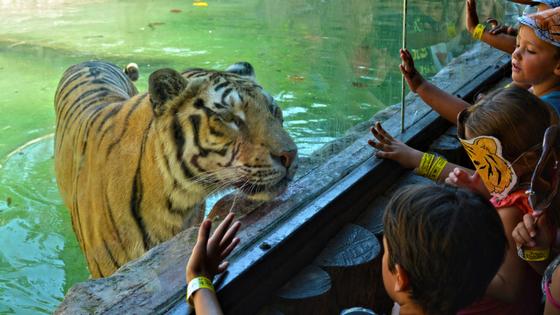 Terra Natura Benidorm se suma al Dia Internacional del Tigre per a conscienciar sobre la conservació de l'espècie