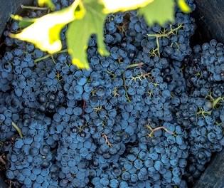 30.4 millones de kilos para Vinos de Alicante
