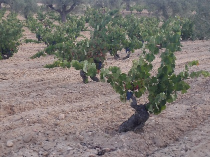 Identificación y recuperación de variedades de uva en la DOP Alicante
