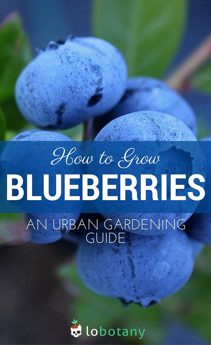 Growing Blueberries In Pots On Your Balcony Or Patio