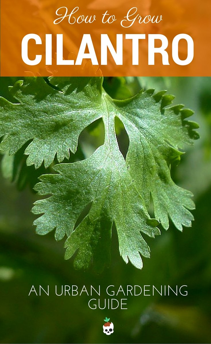 How To Grow Cilantro In Containers