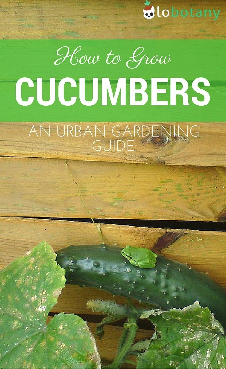 How To Grow Cucumbers In Containers & Small Spaces