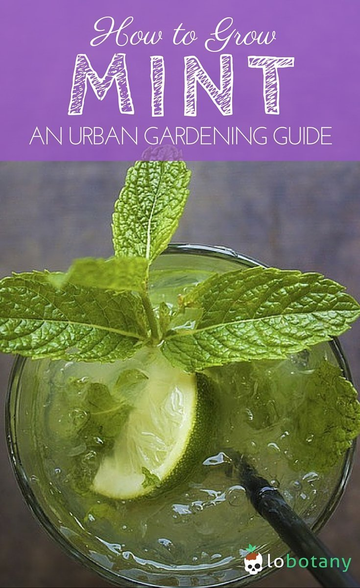 How To Grow Mint In Containers Small Space Gardening