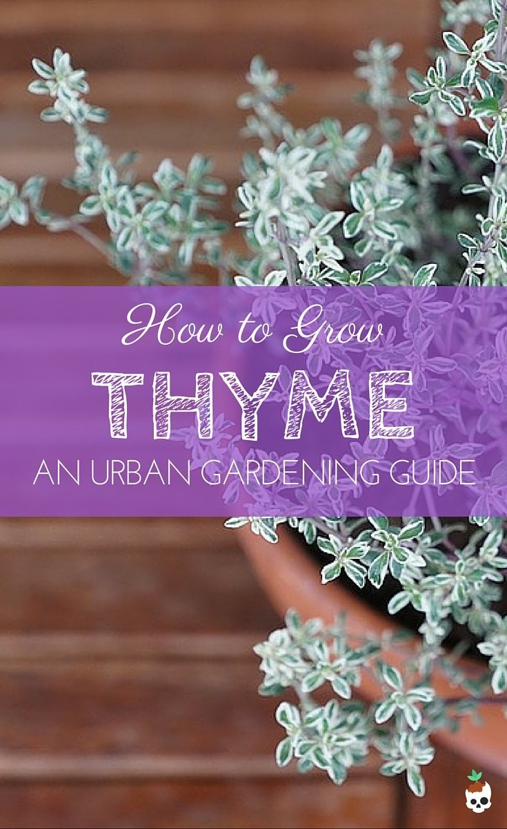 How To Grow Thyme In Containers
