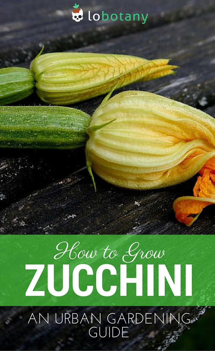 How To Grow Zucchini In Containers Small Spaces