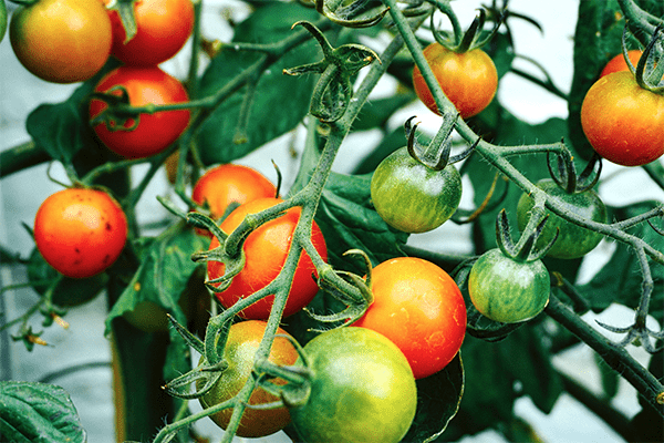 How to grow tons of vegetables in small spaces + small gardens