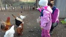 gallinas dar de comer