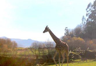 parque natural de cabarceno jirafas