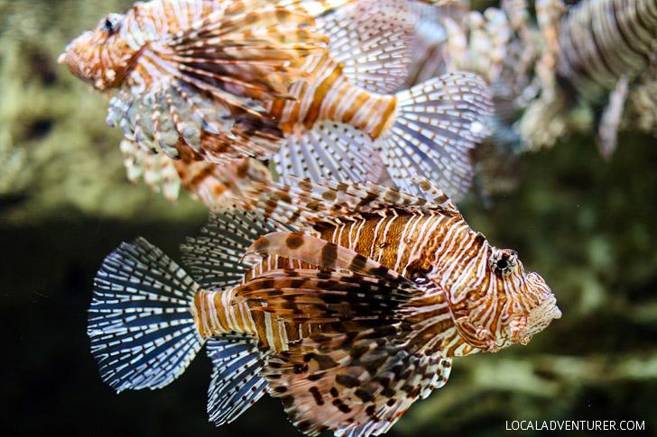 Lion Fish Georgia Aquarium - Second Largest Aquarium in the World // localadventurer.com