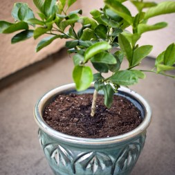 Urban Garden | Planting a dwarf lemon tree