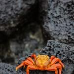 Sally Lightfoot Crab Galapagos Islands