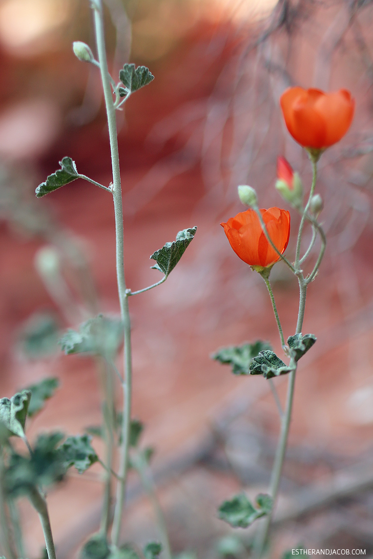 Flowers on Red Rock Canyon Trails | Red Springs Loop or Calico Loop.