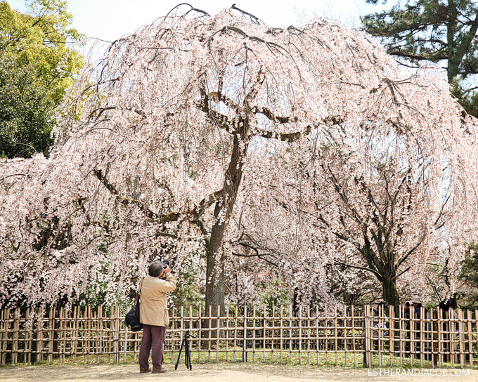 Man taking photos of cherry Blossoms in Japan.
