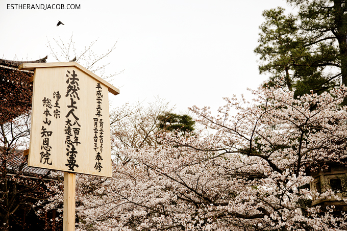Photo of Cherry Blossoms in Japan.