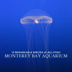 13 Remarkable Species of Jellyfish at the Monterey Aquarium