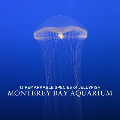 13 Remarkable Species of Jellyfish at the Monterey Aquarium California.