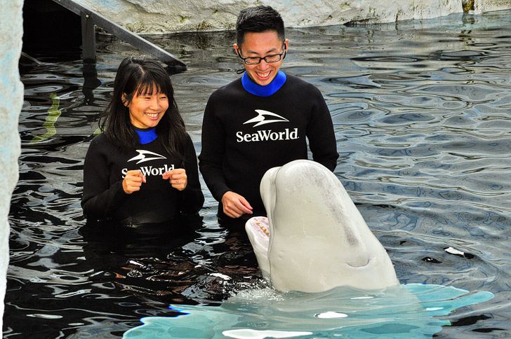 Beluga Interaction Seaworld San Diego.