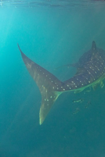 Snorkeling with Whale Sharks at Derawan Islands.