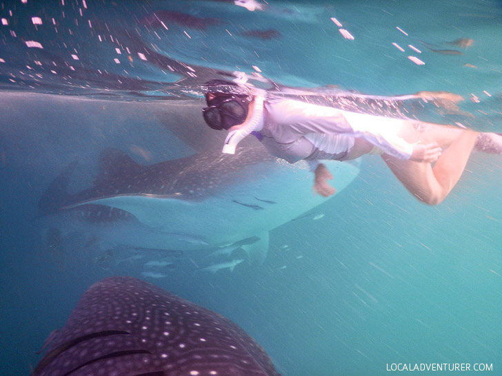 Snorkeling wSwimming with Whale Sharks at Derawan Island Indonesia.