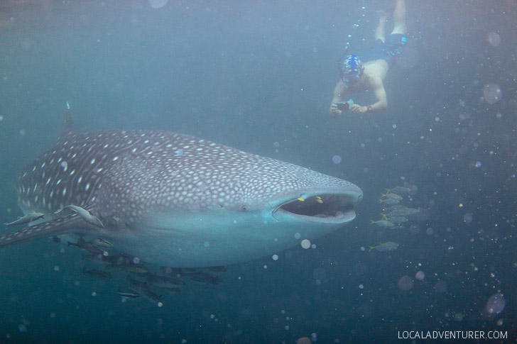 Swim with Whale Sharks in Derawan Islands.