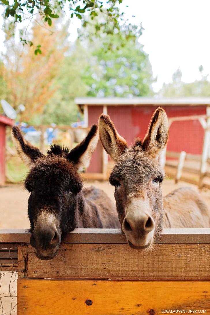 Petting Zoo - Yosemite Pines RV Resort & Family Lodging California USA // localadventurer.com