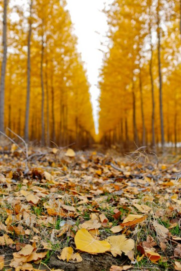 Fall Foliage in Oregon at Boardman Tree Farm // localadventurer.com