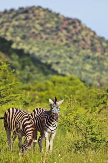 Pilanesberg Park Safari - an Amazing Day Trip from Johannesburg South Africa // localadventurer.com