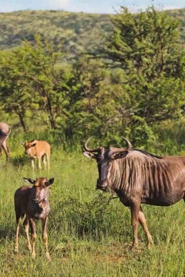 Pilanesberg Animals - Seeing the Big Five at Pilanesberg National Park - an Amazing Day Trip from Johannesburg South Africa // localadventurer.com