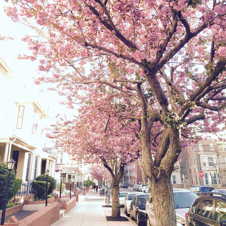 Cherry Blossoms Philadelphia, Pennsylvania - Subaru Cherry Blossom Festival - first trees were planted in Fairmount Park in 1926 with 1,000 trees being added to date (pc: neverbutterfly) // localadventurer.com