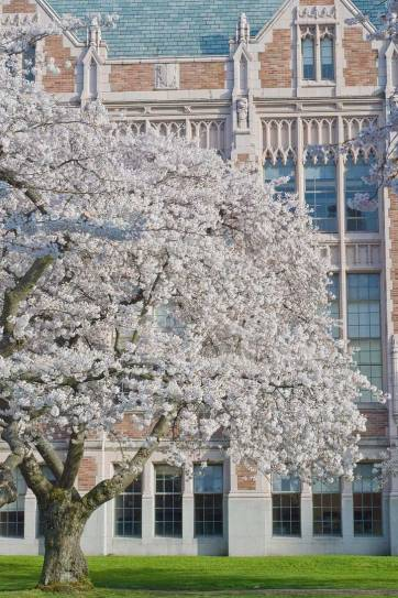 Cherry Blossoms Seattle, Washington - See them at the Seattle Cherry Blossom Festival, the quad at the University of Washington, Seward Park and Jefferson Park (pc: Steve Voght) // localadventurer.com