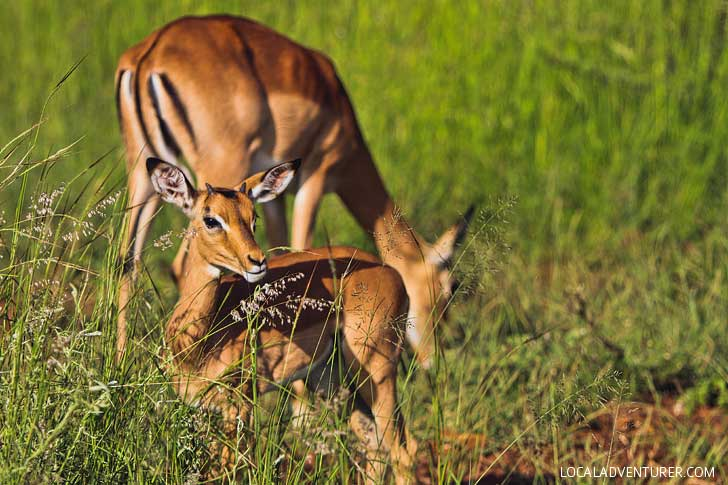 Pilanesberg Game Reserve Safari - an Amazing Day Trip from Johannesburg South Africa // localadventurer.com