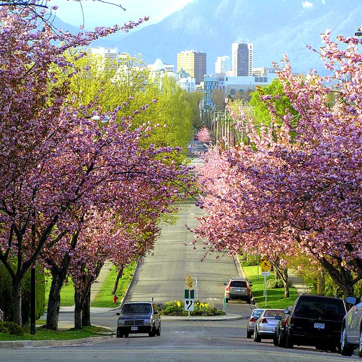 Vancouver British Columbia (pc: David Wise) - Vancouver Cherry Blossom Festival - Vancouverites are proud of the 40,000 cherry trees bloom across the city every spring // localadventurer.com