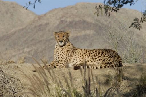 Cheetah 5, The Living Desert