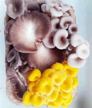 cogumelo_mix_organico