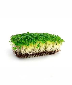 Microverde de Rúcula Orgânico