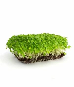 Microverde de Mostarda Orgânico