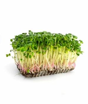 Microverde de Rabanete Orgânico