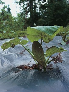 Biodegradable plastic keeps the weeds from poking through the surface.
