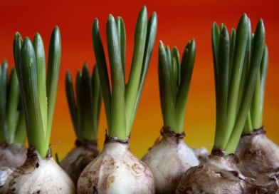 Bulbs, corms and tubers: what's the difference?