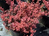 Barberry Rosey Glow