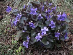 purple labrador violet
