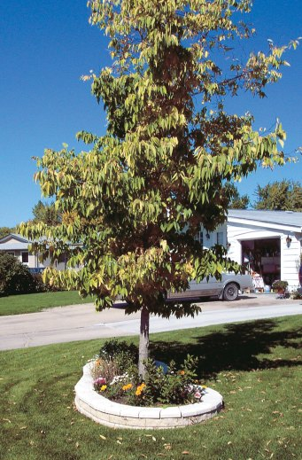 Hackberry tree