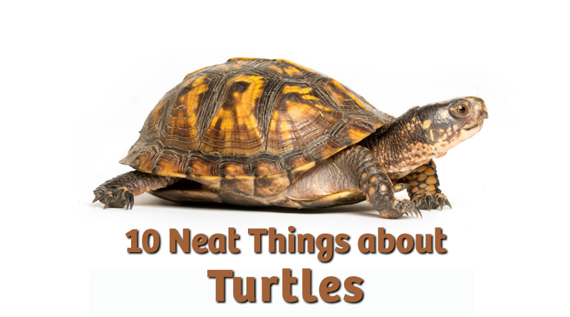 10 Neat Things about Turtles