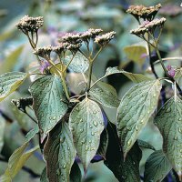 Pagoda dogwood (Cornus alternifolia) plant hardiness zone 3